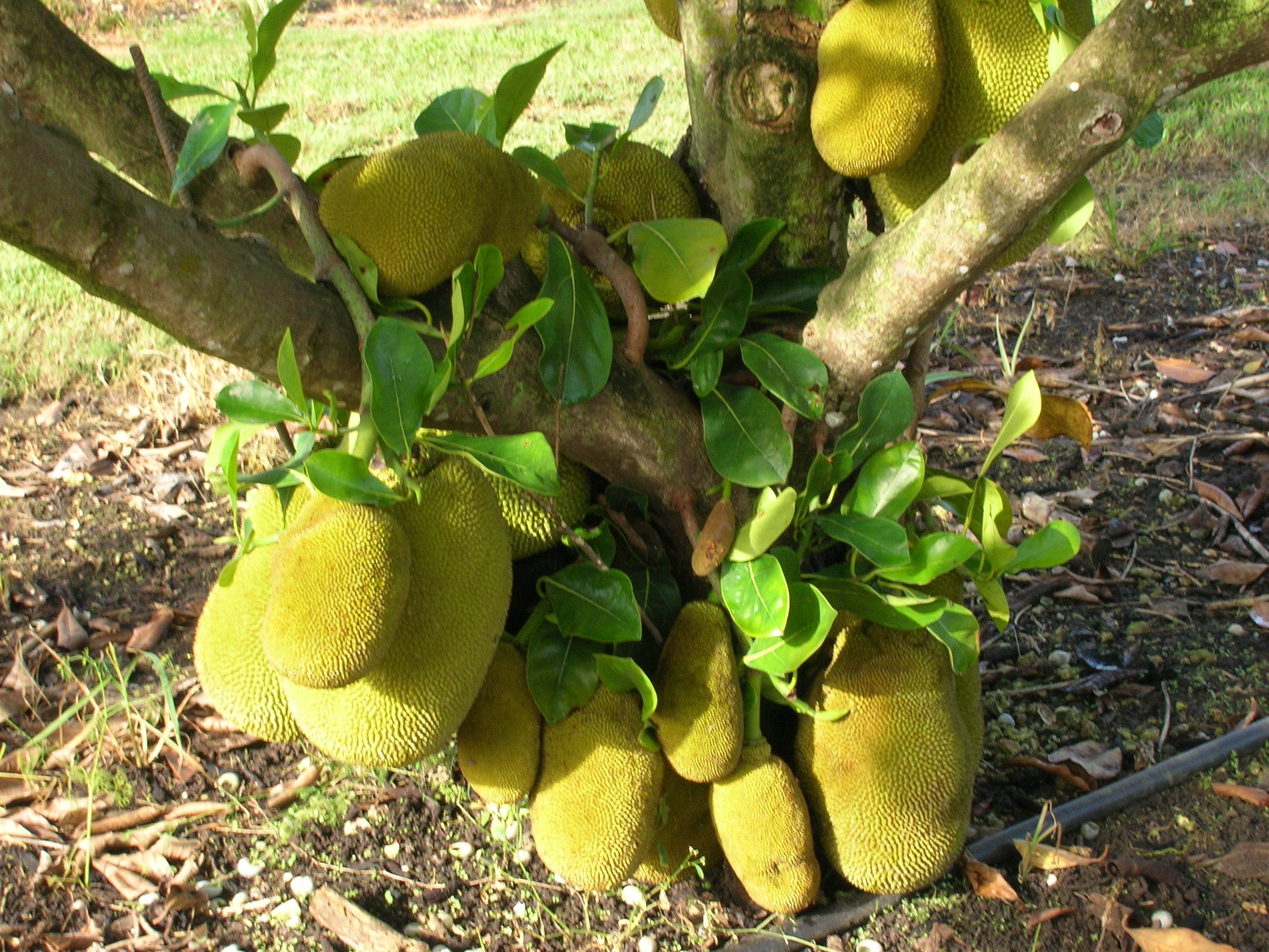 Artocarpus-heterophyllus-Jackfruit1.jpg