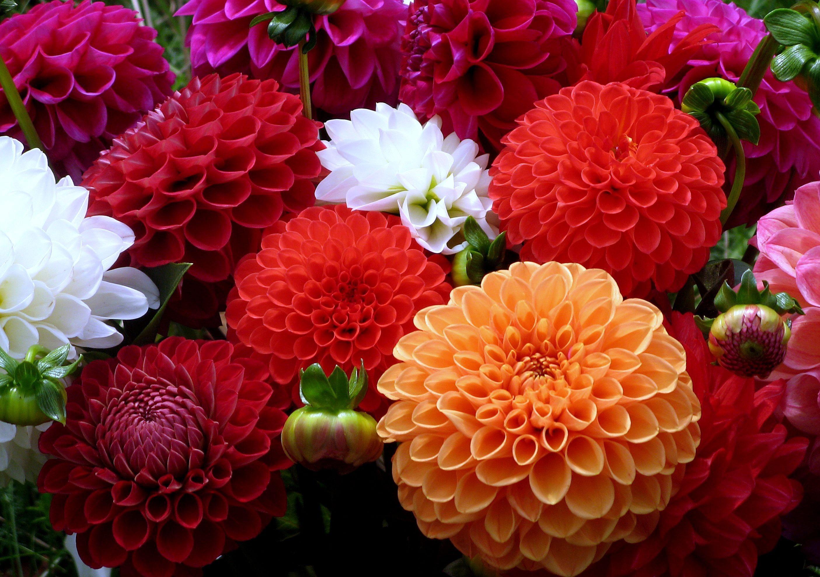 dahlias_flowers_bouquet_close-up_43504_2810x1980.jpg