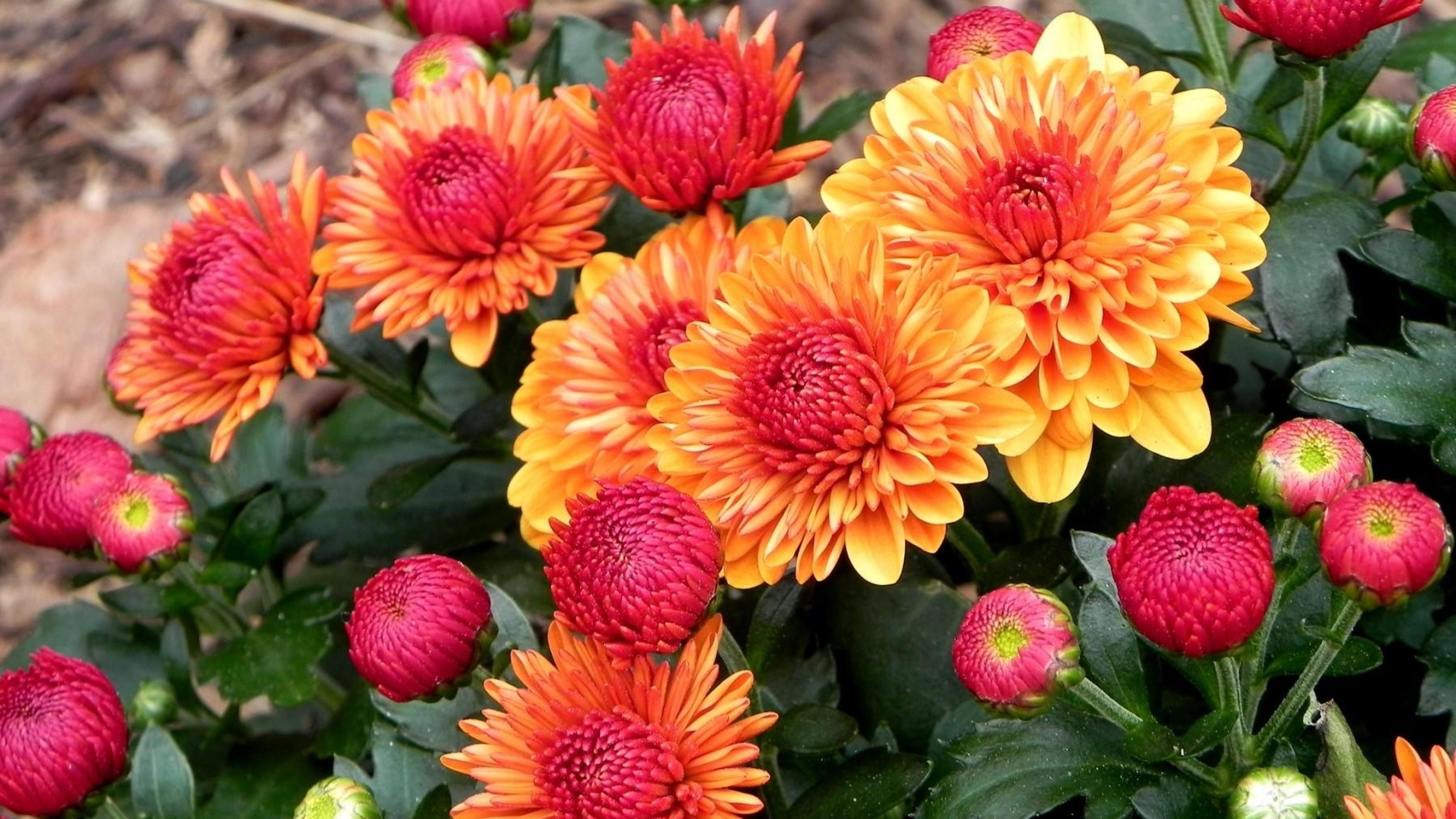 dahlias_flowers_leaves_buds_many_62410_3840x2160.jpg
