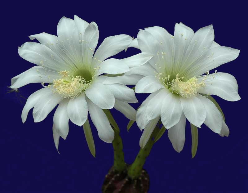 Echinopsis-.jpg