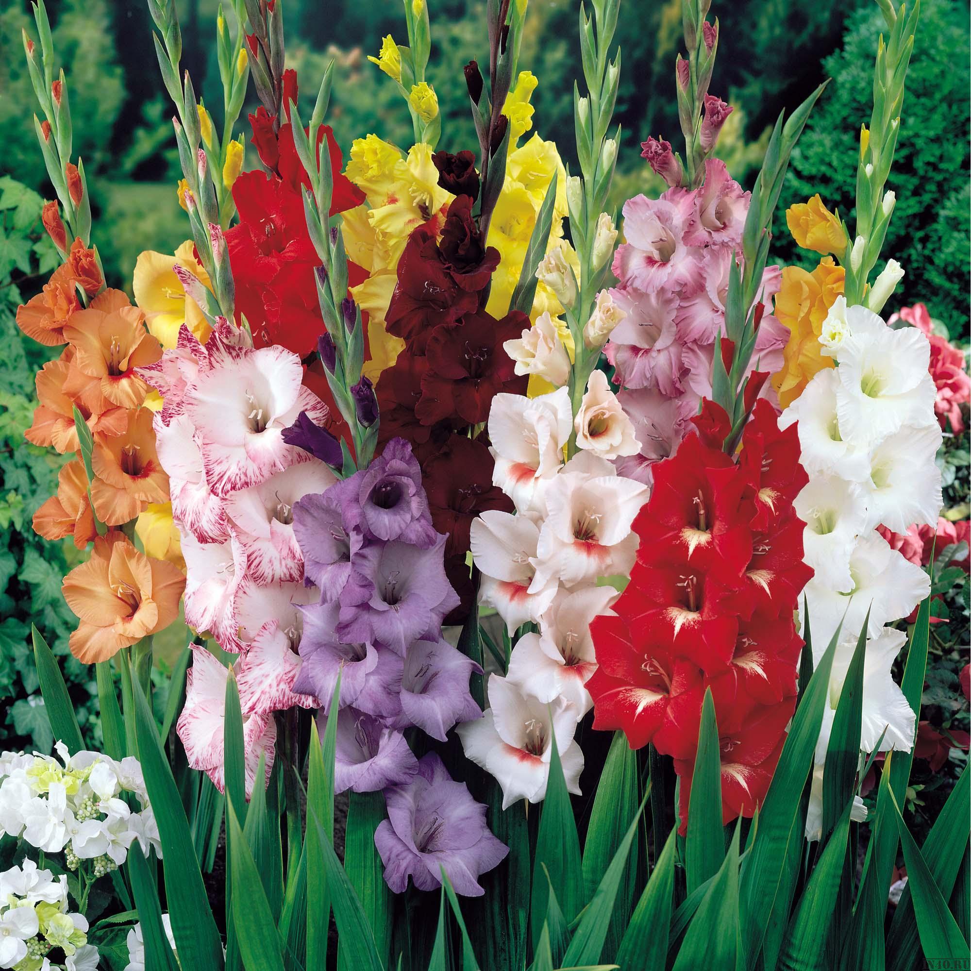 gladiolusy-2914.jpg