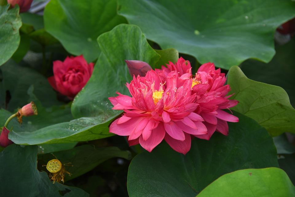 lotus-flowers-4281253_960_720.jpg