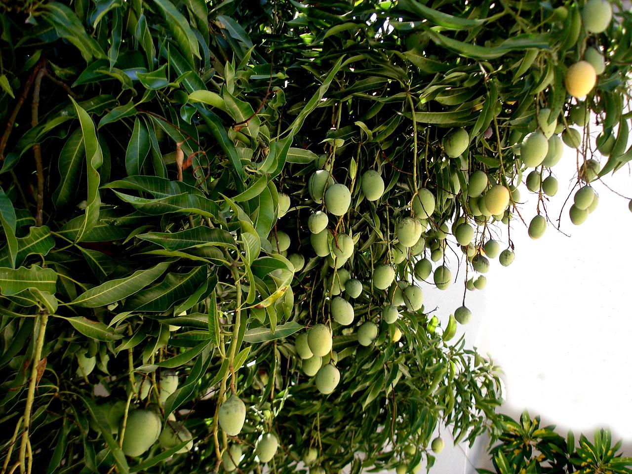 Mangifera_indica._Tropical_Brazil.JPG