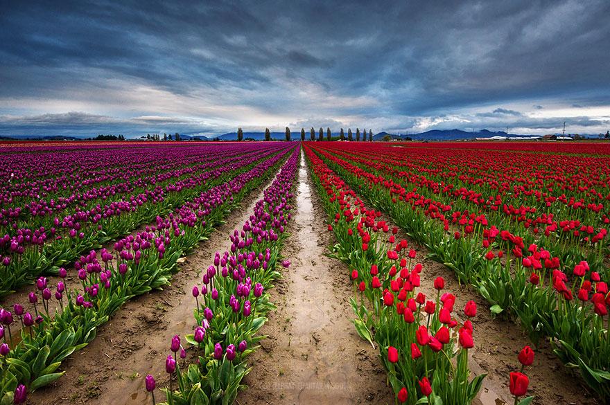 pays-bas-champs-de-tulipes-colores-21.jpg