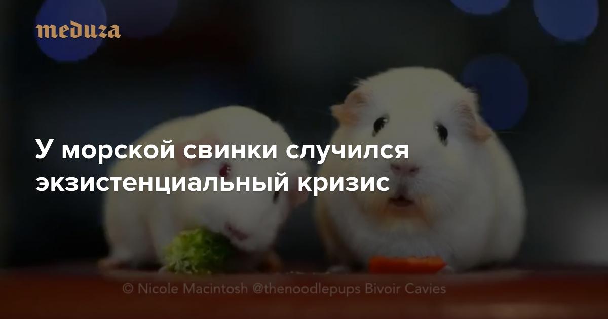 u-morskoy-svinki-sluchilsya-ekzistentsialnyy-krizis.jpeg